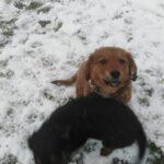 Psy bawiące się na śniegu