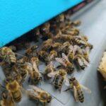 Pszczoły wchodzące do ula